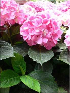 Гортензия букет роз посадка и уход — img 1
